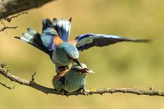 Roller (Bill Richmond) Tags: european roller mating coraciasgarrulus passerine nikond810