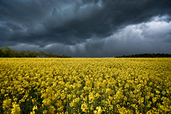 Gold Field in storm (Goddl) Tags: storm field clouds landscape outdoor feld wolken landschaft raps canola sturm