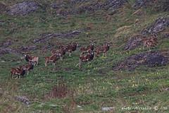 11 mufloni (Alessandro.Gallo) Tags: nebbia montagna freddo corna animaliselvatici parcoorsierarocciavre alessandrogallo photoalexgallo
