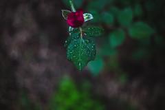 la vie en rose (Lucrecia Carosi) Tags: autumn naturaleza flower green hoja rain rose garden 50mm drops lluvia flor rosa patio gotas contraste otoo jardn pimpollo luznatural