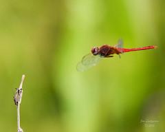 Dragonflies -1 (jimlustgarten) Tags: dragonflies lustgarten