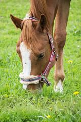 Lunch (Yvonne L Sweden) Tags: horse grass landscape spring sweden may landskap hst grs 3662016
