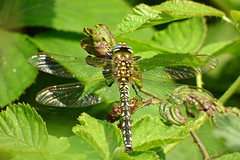 Hairy Dragonfly (Brachytron pratense) (postman.pete) Tags: england europe fall family fashion festival film florida flower flowers food football france friends fun garden germany girl graffiti green halloween hawaii holiday house india iphone island italia italy hwcp colchester essex animal outdoor songbird wild deer lizard common plant bird wren sing blue bell pussy bee lady yellow weed pigeon liz ard texture abstract butterfly worm curve brown argus aricia agestis insect hairy dragonfly brachytron pratense