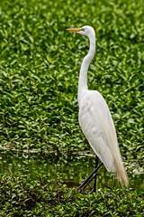 Egret Moves Left (brev99) Tags: green bird ngc marsh egret whitebird d7100 nikviveza cacorrection tamron70300vc highqualityanimals dxooptics8 perfecteffects10