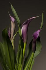 Purple Canna Lily (Edward Arthur) Tags: stilllife flower nature lily purple flash 85mm contax strobe planar carlzeiss helicon b800 planart1485