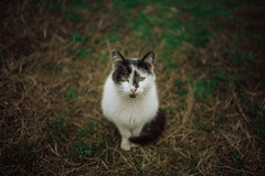 Whitey (Just A Stray Cat) Tags: travel cats white black green film nature field analog cat 35mm canon 50mm countryside nikon dof bokeh outdoor air kitty kittens s mm manual nikkor breathe 50 35 depth ai f12 f12s