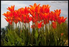 Castle Tulips (zweiblumen) Tags: uk flowers scotland tulips alba isleofarran polariser brodickcastle northayrshire eileanarainn canoneos50d zweiblumen