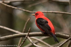 Who's the scarletest of them all? (rdroniuk) Tags: birds scarlettanager oiseaux smallbirds songbirds pirangaolivacea passerines tanagers passereaux tangaracarlate