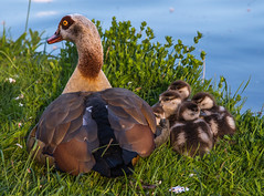 good night litle gooses (von Renate Bomm) Tags: nature animal de deutschland see tiere aqua wasser natur gans nordrheinwestfalen hrth junge frei 2016 366 nilgans flickrunitedaward renatebomm daunenkken