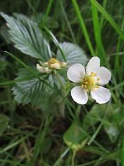 White wildflower (roxiethree) Tags: ohio white flower macro nature native wildflower