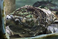 Old Turtle (NicolaTumino) Tags: old animal zoo turtle