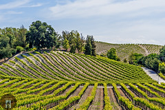 Wine Country California-Central-Coast 2016-05-26 (randyandy101) Tags: california clouds vines wine bluesky hills winery vineyards grapes cambria lowclouds winecountry pasorobles californiacentralcoast highway46 cambriaca cambriapinesbythesea