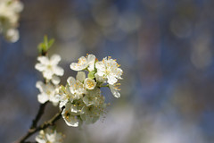 blossoms (-j0n4s-) Tags: flowers flower color art nature canon 50mm spring flickr dof blossom bokeh blossoms 50mm18 2016 j0n4s
