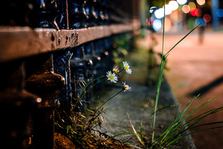 Street Daisy in night bokeh (Edixa Xenar version)