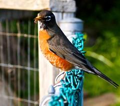 Fence Sitting - (ikan1711) Tags: bird robin birds animals fence garden insects smallbirds allanimals birdsofafeather birdwatch allbirds birdsofbc robinsofbc