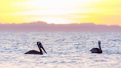 Baja California Sur, Mar de Cortez.jpg (gaillard.galopere) Tags: sunset beautiful mexico pelican bajacalifornia baja bajacaliforniasur lapaz seabird coucherdesoleil tecolote gaillardgalopere
