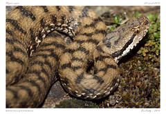 Vipre aspic (BerColly) Tags: portrait france macro google flickr snake serpent viper auvergne puydedome vipere bercolly