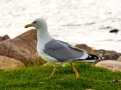 Silbermwe (Larus argentatus) European herring gull (g3Tography) Tags: sea birds wildlife gulls baltic ostsee fehmarn fehmarnvgelmwen