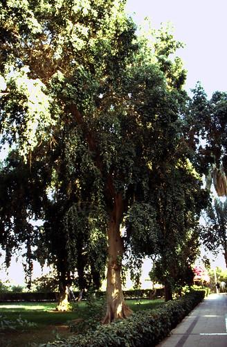 """Ägypten 1999 (062) Assuan: Botanischer Garten, Elnabatat's Island • <a style=""""font-size:0.8em;"""" href=""""http://www.flickr.com/photos/69570948@N04/27099601731/"""" target=""""_blank"""">View on Flickr</a>"""