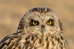 Coruja-do-nabal   Short-eared owl   Asio flammeus (Álvaro Nunes) Tags: shortearedowl asioflammeus corujadonabal