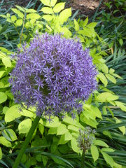Wheaton, IL, Cantigny Park, Purple Allium (Mary Warren (7.0+ Million Views)) Tags: flowers blue plants nature flora purple blossoms blooms allium cantignypark wheatonil