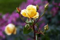Rose_20160618_052 (bourjean29) Tags: france bretagne printemps finistre 135mmf2l bourgeoisjean