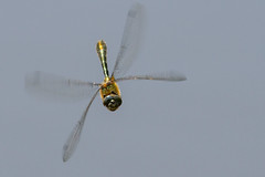 Downy Emerald Dragonfly in flight (PINNACLE PHOTO LOG) Tags: uk colour nature flying inflight pond focus dragonfly wildlife fast manual tracking downyemerald corduliaaenea