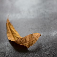 curl... (borealnz) Tags: autumn fall nature square golden leaf curled dried simple