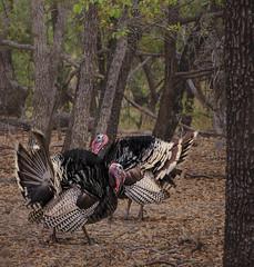 Wild  Turkeys (capemountain) Tags: birds display wildturkeys ramseycanyon