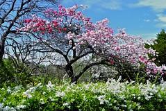 HANAMOMO (tez-guitar) Tags: leica mountain flower tree spring momo peach leicax1