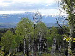 2016 05 19 Grand Teton national Park 37a (omigosz) Tags: mountain tree wyoming grandtetonnationalpark
