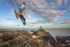 Red Kite (brian_stoddart) Tags: red lighthouse kite nature wales coast