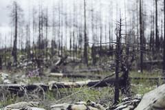 IMG_8337 (L) Tags: canon forrest deadtrees burnedtrees vsterfrnebo 7020028lisii eos5dmkiii hlleskogsbrnnan