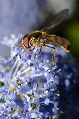 DSC_8099 (PiotrekSmyk) Tags: flower macro nikon insects 11 bee tamron 90mm vc f28 usd d7000 f004