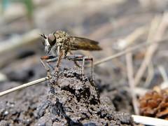 Asilinae (carlos mancilla) Tags: insectos flies moscas asilinae olympussp570uz