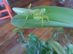 Praying mantis 2 (SierraSunrise) Tags: green animals mantis thailand insects chiangrai mantidae wiangchai