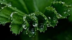beaded frill (heatherybee) Tags: waterdrops