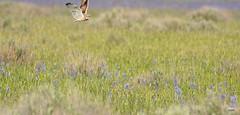 05.23.16  Camas, ID (cintia scola) Tags: idaho burrowingowl sigma600mm cintiascola nikond7100 spring2016