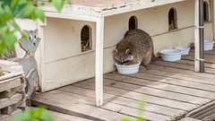 Ssshh... I'm just a Canadian Parliamentary Cat. (Asif A. Ali) Tags: food cats canada home funny ottawa canadian rocket raccoon stealing intruder parliamentary