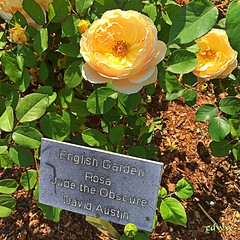 Lewis Ginter Botanical Garden May 28, 2016 (EDWW day_dae (esteemedhelga)) Tags: flowers roses plants nature beauty bench season botanical flora orchids natural blossom path cluster nursery lakes parks natura creation passion vegetation bloom fields greenery streams bouquet annual bud botany ponds horticulture rosette sprout seedling biennial perennial posy tropicalplants arbors floret efflorescence juncture lewisginterbotanicalgardens siring edww mothernature daydae esteemedhelga floeret greatmother damenature pottedplantsbridges