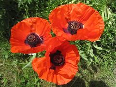 drei rote Schnheiten vorm Haus (evioletta) Tags: rot vorgarten mohn