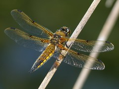 Four-Spotted Chaser (ukstormchaser (A.k.a The Bug Whisperer)) Tags: park wood macro animal animals fly dragonflies wildlife flies perched milton keynes howe chaser tattenhoe chasers fourspotted