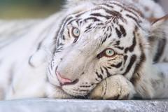 Apollo  - Blue Eyed Prince (Harimau Kayu (AKA Sumatra-Tiger)) Tags: baby animal zoo kid feline tiger bigcat snowwhite apollo bigcats whitetiger zooshot tobu mirrormirror bengaltiger babytiger knigstiger  tigreblanco pantheratigristigris tobuzoo tigreblancroyal  tigredubengale weisertiger indischertiger   keddo eltigredebengala latigrerealedelbengala