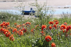 Seaside Poppies (ianwyliephoto) Tags: uk england beach seaside northumberland alnmouth poppies northeast