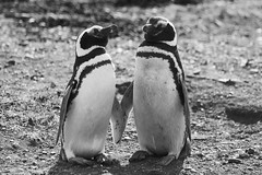 Penguin couple (sophs123.) Tags: chile travel summer bw patagonia white black nature animals america canon penguins wildlife south latinoamerica punta arenas isla magdalena canon400d