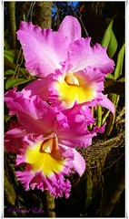 orquideas rosas (akel_lke ) Tags: rakel raquel elke rakelelke raquelelke rakelmurcia regindemurcia murcianorte espinardo murcia espaa spain espagne europa europe orquidea orquideas orchid orchids rosa rose flower fleur fiore blumen  kvtina cvjetni kvetina floro lill lore kukka blodau    paj bloem virg bunga blm  zieds iedas  kwiat floare  blomma iek  hoa flora