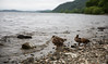 Loch Lomond (Dan Fegent) Tags: uk greatbritain beautiful beauty landscape eos scotland duck scenery tour view place natural country ducks naturallight ducklings places visit views stunning handheld fullframe visiting viewing lochlomond ecosse lserieslens canon1dx canon2470f28lmk2