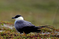 Long-tailed Skua (Joyce Waterman) Tags: bird norway arctic skua longtailed varanger