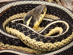 Coils (amythyst_lake) Tags: garter wisconsin reptile snake stripes scales coils