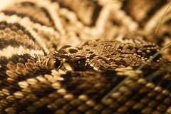 Rattler (Vincent1825) Tags: pentax snake louisvillezoo
